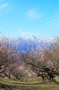 ウメの花と残雪の鈴鹿山脈の写真素材 [FYI01800764]