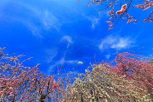 ウメの花と青空の写真素材 [FYI01800766]