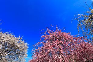 ウメの花と青空の写真素材 [FYI01800768]