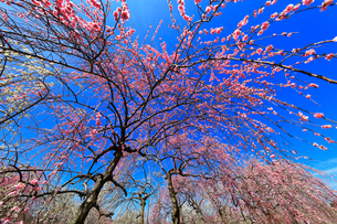 ウメの花と青空の写真素材 [FYI01800770]
