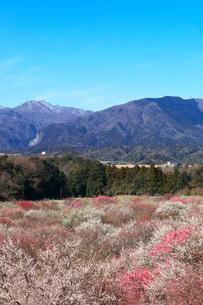 ウメの花と残雪の鈴鹿山脈の写真素材 [FYI01800779]