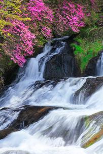 竜頭の滝に花咲くトウゴクミツバツツジの写真素材 [FYI01800807]