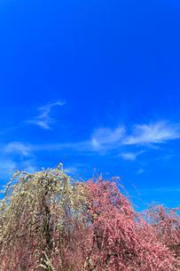 ウメの花と青空の写真素材 [FYI01800810]