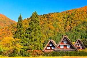 秋の白川郷・合掌造りと快晴の空に紅葉の写真素材 [FYI01800815]