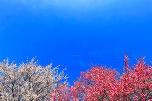 ウメの花と青空に飛行機雲の写真素材 [FYI01800820]