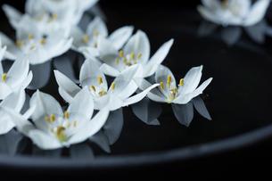 黒い花器に浮かべた白いオオニソガラムの花の写真素材 [FYI01800838]