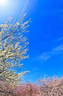 ウメの花と空に太陽の写真素材 [FYI01800845]