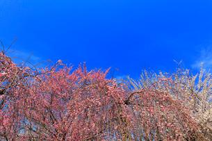 ウメの花と青空の写真素材 [FYI01800862]