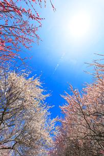 ウメの花と空に太陽の写真素材 [FYI01800937]