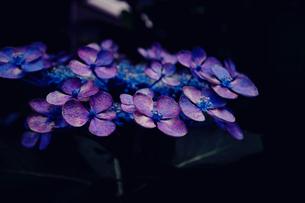 雨降り前のガクアジサイの写真素材 [FYI01800947]