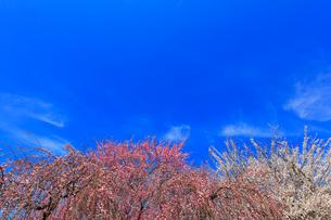 ウメの花と青空の写真素材 [FYI01800972]