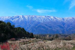ウメの花と残雪の鈴鹿山脈の写真素材 [FYI01800975]