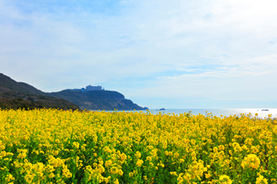 伊良湖岬恋路ヶ浜に菜の花の写真素材 [FYI01800986]