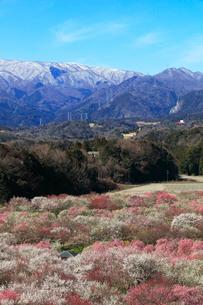ウメの花と残雪の鈴鹿山脈の写真素材 [FYI01800991]