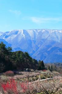 ウメの花と残雪の鈴鹿山脈の写真素材 [FYI01801004]