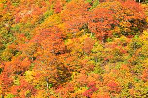 紅葉の木立の写真素材 [FYI01801025]