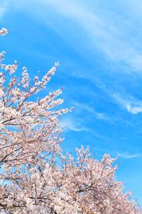 桜と青空に雲の写真素材 [FYI01801027]