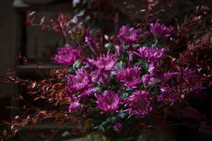 菊とセロシアのパープルのフラワーアレンジメントの写真素材 [FYI01801028]