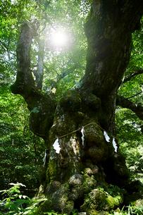 熊野皇大神社の科の木の写真素材 [FYI01801033]