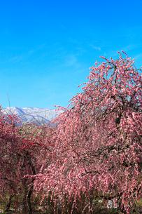 ウメの花と残雪の鈴鹿山脈の写真素材 [FYI01801043]