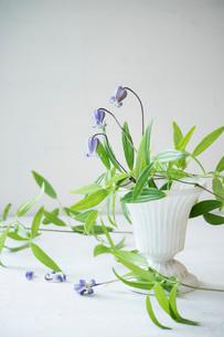 白い花器に活けた紫色のクレマチスの写真素材 [FYI01801081]