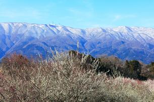 ウメの花と残雪の鈴鹿山脈の写真素材 [FYI01801168]