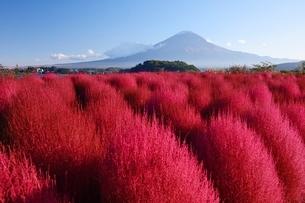 大石公園の紅葉したコキアと富士山の写真素材 [FYI01803029]