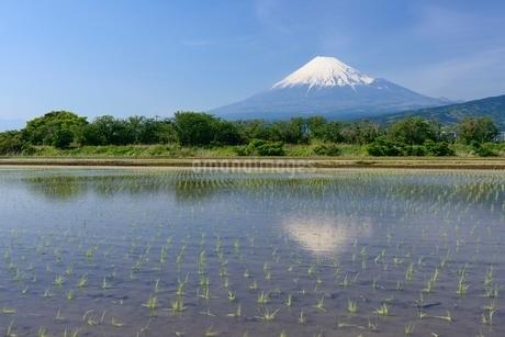 富士市の水田に映る富士山の写真素材 [FYI01803231]