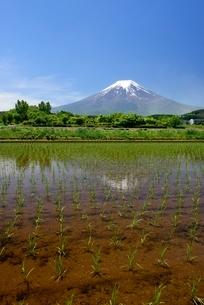 富士吉田市の田植えのされた水田より望む富士山の写真素材 [FYI01803272]
