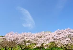 静岡県 桜と青空 岩本山公園よりの写真素材 [FYI01803361]