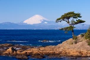 立石公園より望む相模湾越しの富士山と松の写真素材 [FYI01803365]