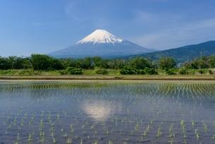 富士市の水田に映る富士山の写真素材 [FYI01803490]