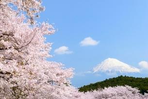 静岡県 岩本山公園のサクラと富士山の写真素材 [FYI01803528]
