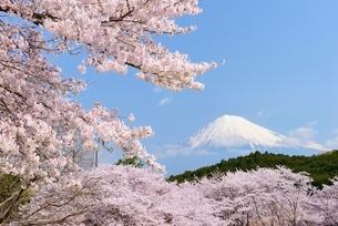 静岡県 岩本山公園のサクラと富士山の写真素材 [FYI01803567]