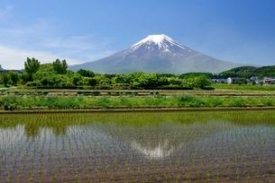 富士吉田市の田植えのされた水田より望む富士山の写真素材 [FYI01803579]