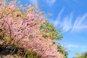 静岡県 伊豆 河津桜と青空の写真素材 [FYI01803626]