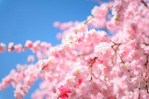ピンクの花桃と青空の写真素材 [FYI01803638]