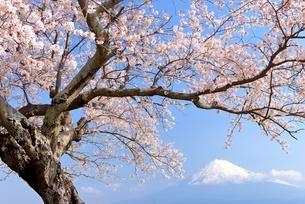 静岡県 雁公園のサクラと富士山の写真素材 [FYI01803640]