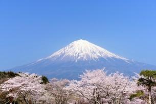 桜と青空と富士山の写真素材 [FYI01803674]