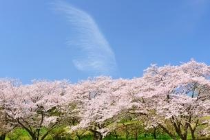 静岡県 桜と青空 岩本山公園よりの写真素材 [FYI01803685]