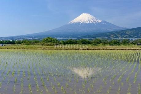 富士市の水田に映る富士山の写真素材 [FYI01803698]