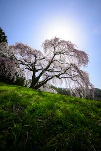 山梨県 逆光で撮影した乙ヶ妻の枝垂れ桜の写真素材 [FYI01803700]