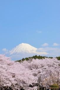 静岡県 岩本山公園のサクラと富士山の写真素材 [FYI01803709]