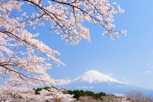 静岡県 桜と富士山の写真素材 [FYI01803718]
