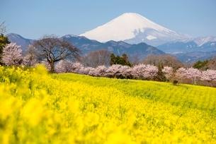 大井町篠窪地区より望む前ボケの菜の花畑と桜と富士山の写真素材 [FYI01803723]