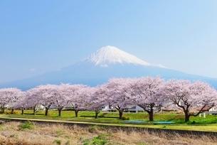 静岡県 潤井川沿いの桜並木と富士山の写真素材 [FYI01803827]
