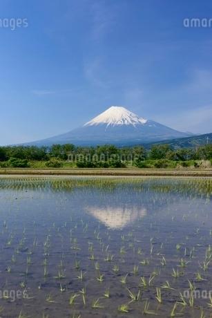 富士市の水田に映る富士山の写真素材 [FYI01803839]