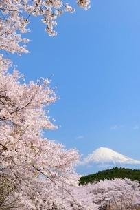静岡県 岩本山公園のサクラと富士山の写真素材 [FYI01803841]