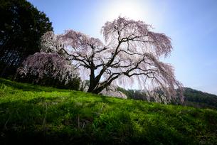 山梨県 逆光で撮影した乙ヶ妻の枝垂れ桜の写真素材 [FYI01803863]