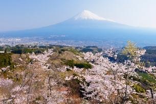 静岡県 明星山公園の桜と富士山 の写真素材 [FYI01803878]